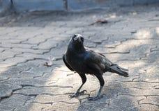 Schwarze Krähe, die auf dem Zementboden steht Stockbilder