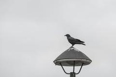 Schwarze Krähe, die auf der Beleuchtung, Schwarzweiss steht Lizenzfreies Stockfoto