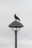 Schwarze Krähe, die auf der Beleuchtung, Schwarzweiss steht Lizenzfreies Stockbild