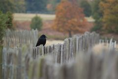 Schwarze Krähe, die auf einem Zaun sitzt stockfotografie