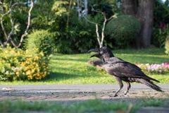 Schwarze Krähe, die auf Fußweg steht Lizenzfreie Stockfotos