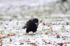 Schwarze Krähe, die für einige Samen forraging ist Lizenzfreie Stockfotografie