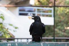 Schwarze Krähe, die Snack auf einem Zaun isst Stockfotografie