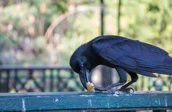 Schwarze Krähe, die Snack auf einem Zaun isst Lizenzfreie Stockbilder