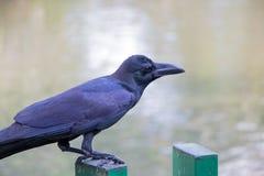 Schwarze Krähe gehockt auf einem Zaun Lizenzfreies Stockbild