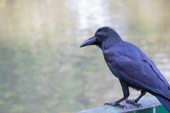 Schwarze Krähe gehockt auf einem Zaun Lizenzfreie Stockfotografie