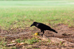 Schwarze Krähe mit Mais im Park Stockfoto
