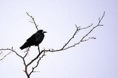 Schwarze Krähe sitzt auf den Niederlassungen der Akazie lizenzfreies stockfoto