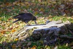 Schwarze Krähe sitzt auf einem alten Baumstumpf und versucht, Mahlzeit zu finden Lizenzfreie Stockfotos