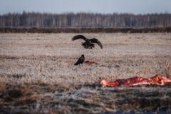 Schwarze Krähen, die Aas essen Lizenzfreie Stockbilder