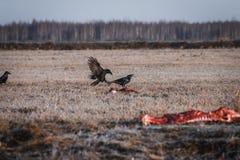 Schwarze Krähen, die Aas essen Stockfoto