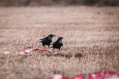 Schwarze Krähen, die Aas essen Stockfotos