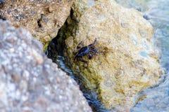 Schwarze Krabbe, die auf einem Felsen klettert lizenzfreie stockfotos
