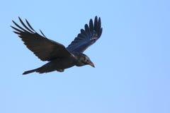 Schwarze Krähe im Flug mit ausgebreiteten Flügeln Stockbild