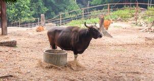 Schwarze Kuh der Fütterung Stockfotos