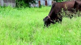 Schwarze Kuh in der Wiese stock footage