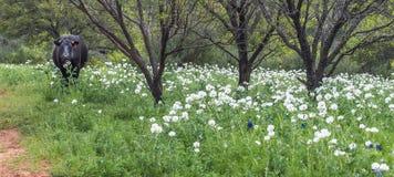 Schwarze Kuh, die auf dem Gebiet von weißen Blumen weiden lässt stockbilder