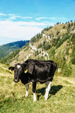 Schwarze Kuh, die in einer Wiese steht Stockfotografie