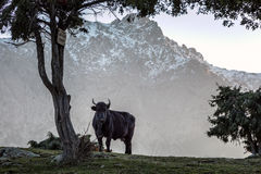 Schwarze Kuh im Schnee bedeckte Berge von Korsika mit einer Kappe Lizenzfreies Stockfoto
