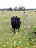Schwarze Kuh intrigiert durch meinen Besuch lizenzfreies stockbild