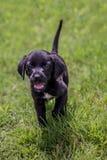 Schwarze Labor-pupies Stockbild