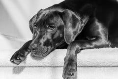 Schwarze Labrador retriever-Niederlegung Stockfoto