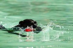 Schwarze Labrador-Schwimmen Stockbilder
