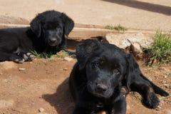 Schwarze Labrador-Welpen, die im Schmutz sitzen Stockfotos