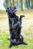 Schwarze Labrador-Zucht sitzt auf seinen Hinterbeinen und schaut zu Stockbilder