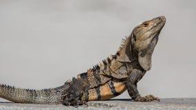 Schwarze Leguannahaufnahme, Key Biscayne, Florida Lizenzfreie Stockbilder