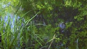 Schwarze Libellen auf Fluss stock footage