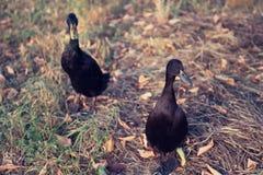 Schwarze männliche indische Läufer-Enten Stockbilder
