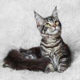 Schwarze Maine-Kegelkatze der getigerten Katze, die auf weißem Hintergrund aufwirft Stockbild