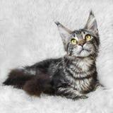 Schwarze Maine-Kegelkatze der getigerten Katze, die auf weißem Hintergrundpelz aufwirft Lizenzfreie Stockfotos