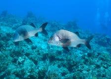 Schwarze Margate-Fische Stockbilder
