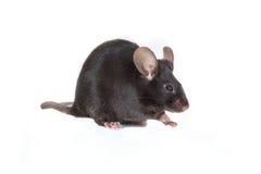 Schwarze Maus auf einem weißen Hintergrund Stockfoto