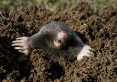 Schwarze Mole neu