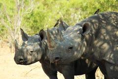 Schwarze Nashorn-Familie Stockfotos