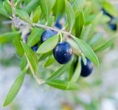 Schwarze Oliven auf einer Niederlassung eines Baums Lizenzfreie Stockfotografie