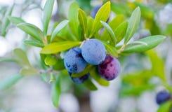 Schwarze Oliven auf einer Niederlassung eines Baums Stockfoto
