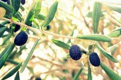Schwarze Oliven auf Niederlassung lizenzfreie stockfotos