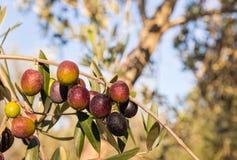 Schwarze Oliven, die auf Olivenbaum reifen Lizenzfreies Stockfoto