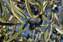 Schwarze Oliven, Olea europaea, reifend auf Baum lizenzfreies stockfoto