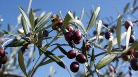 Schwarze Oliven, reif Stockfotografie