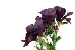Schwarze Pelargonie Lizenzfreies Stockfoto