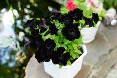 Schwarze Petunie Fahne der Blumen-Background Sch?ne Natur lizenzfreie stockfotos