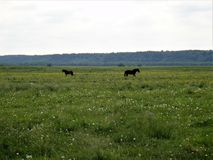 Schwarze Pferde Lizenzfreies Stockbild