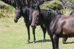 Schwarze Pferde Lizenzfreies Stockfoto