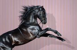 Schwarze Pura Spanish Horse, die auf gestreiftem Hintergrund aufrichtet lizenzfreie stockfotografie