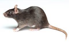 Schwarze Ratte auf Weiß Lizenzfreies Stockfoto